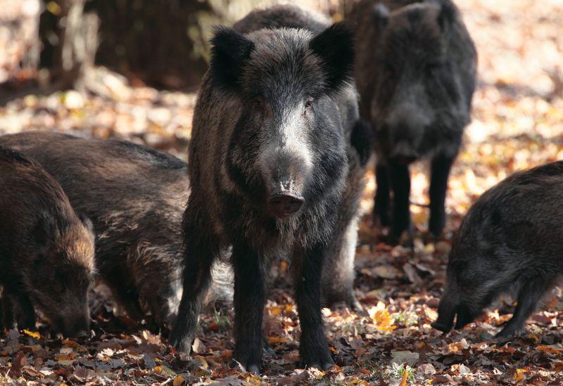 Combaterea pestei porcine,prin decimarea efectivelor de porci mistret